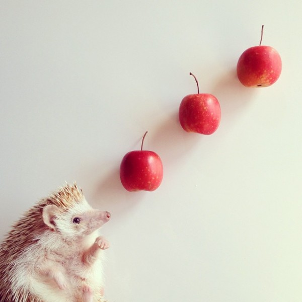 cutest-hedgehog-ever-2